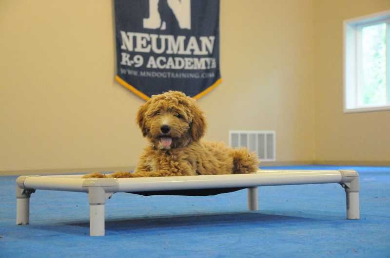Lilly (Goldendoodle) - Puppy Camp Dog Training