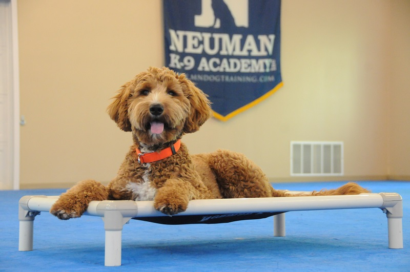 Lilly (Goldendoodle) - Boot Camp Dog Training