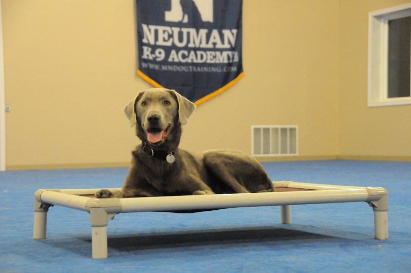 Lincoln (Silver Labrador Retriever) - Boot Camp Dog Training