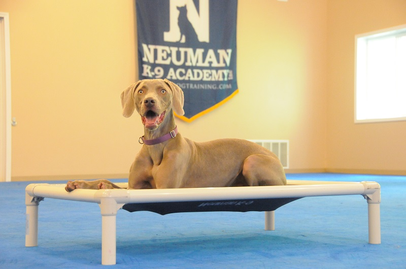 Luna (Weimaraner) - Boot Camp Dog Training