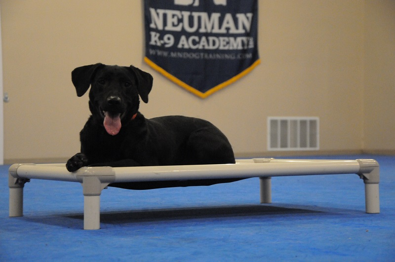 Luna (Labrador Retriever) - Boot Camp Dog Training