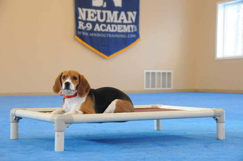 Maggie (Beagle) - Boot Camp Dog Training