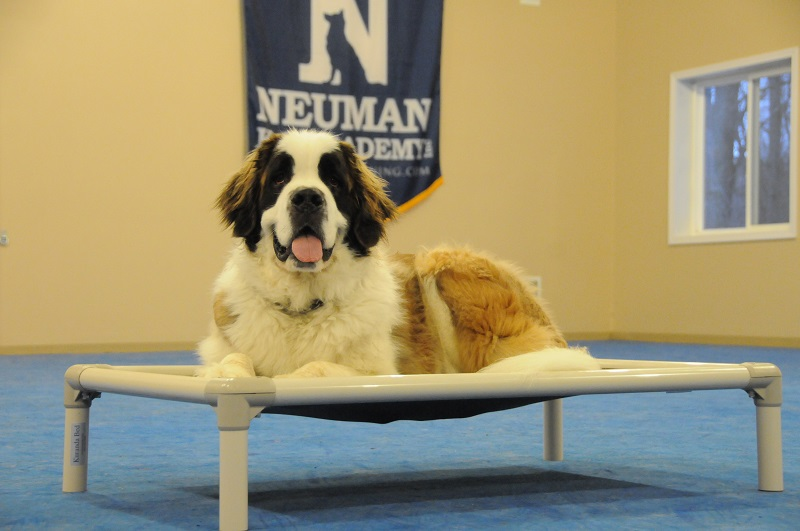 Maisie (St. Bernard) - Boot Camp Dog Training