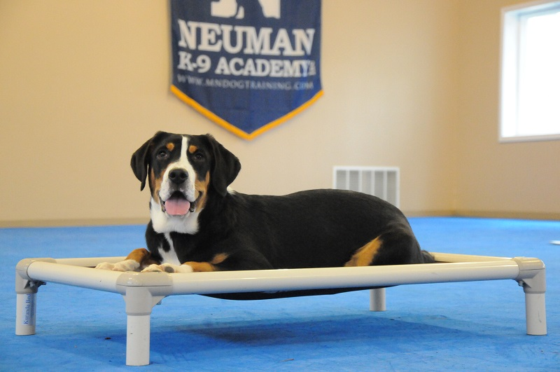 Marlow (Greater Swiss Mountain Dog) - Boot Camp Dog Training