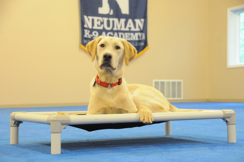 Max (Labrador Retriever) - Boot Camp Dog Training