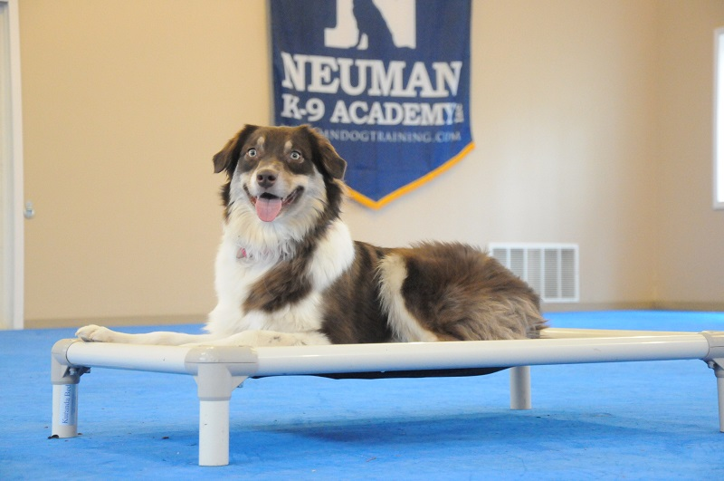 Mayzie (Australian Shepherd) - Boot Camp Dog Training
