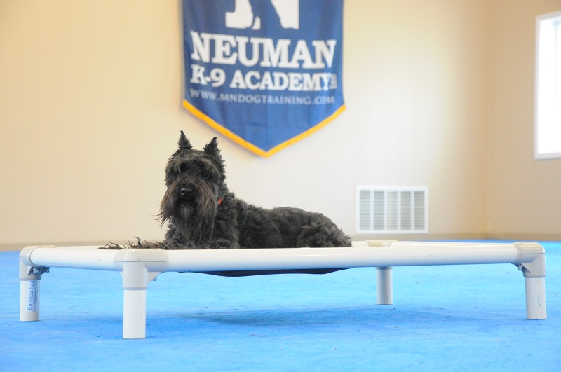 Mikey (Mini-Schnauzer) - Boot Camp Dog Training