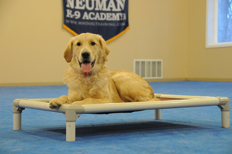 Milo (Golden Retriever) - Boot Camp Dog Training