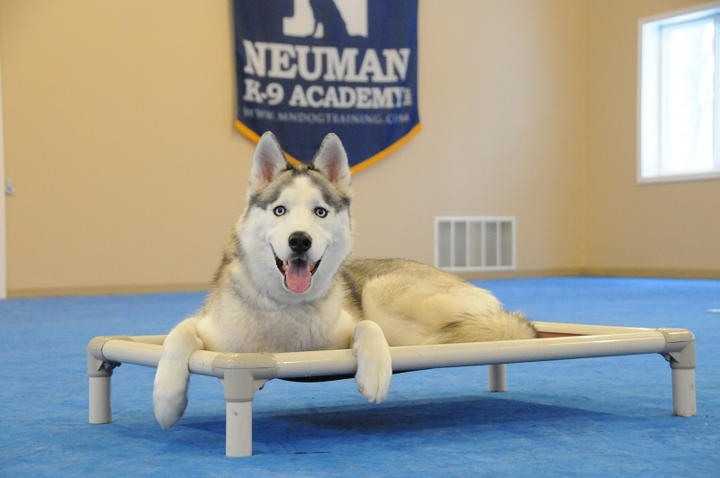 Mordy (Siberian Husky) - Boot Camp Dog Training