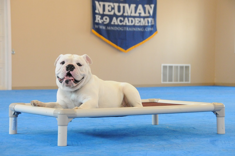 Oakley (Bulldog) - Boot Camp Dog Training