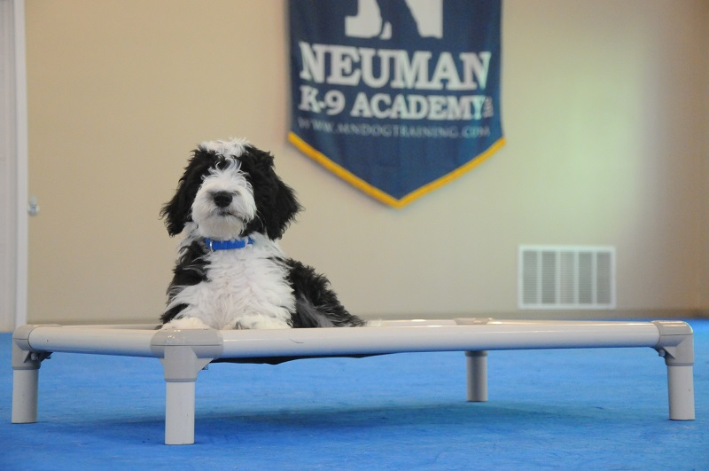 Obi (Sheepadoodle) - Boot Camp Dog Training