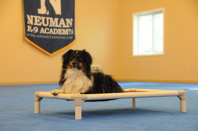 Ozzy (Mini Australian Shepherd) - Boot Camp Dog Training