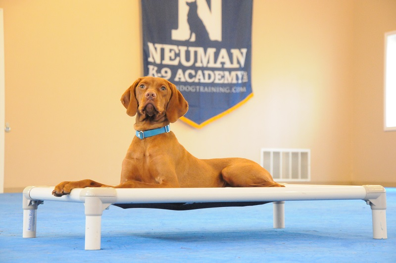 Penny (Vizsla) - Boot Camp Dog Training