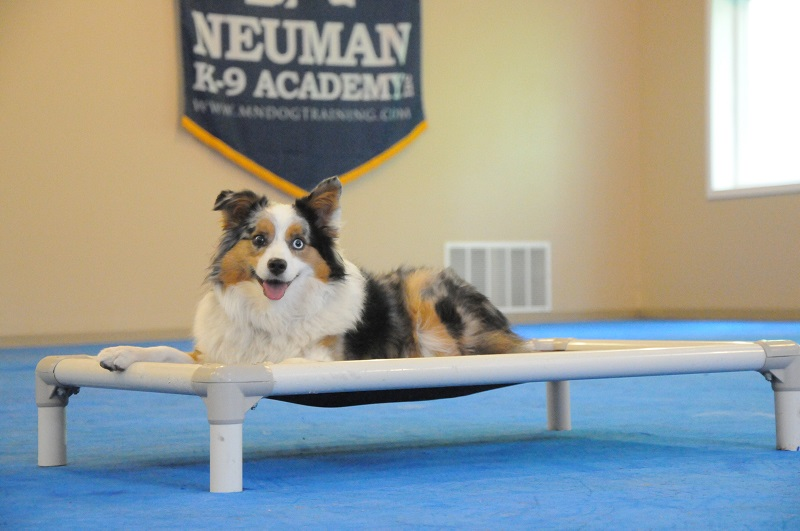 Phin (Australian Shepherd) - Boot Camp Dog Training