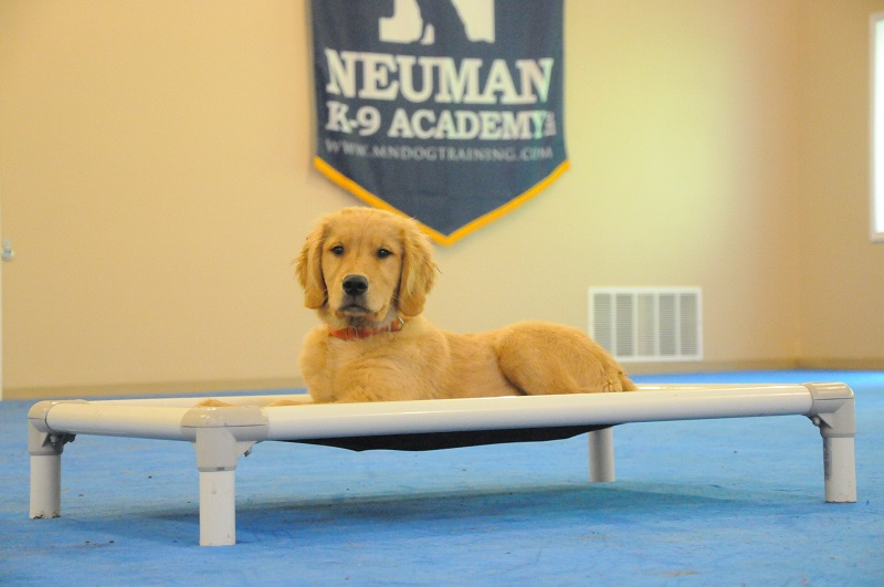 Ringo (Golden Retriever) - Puppy Camp Dog Training