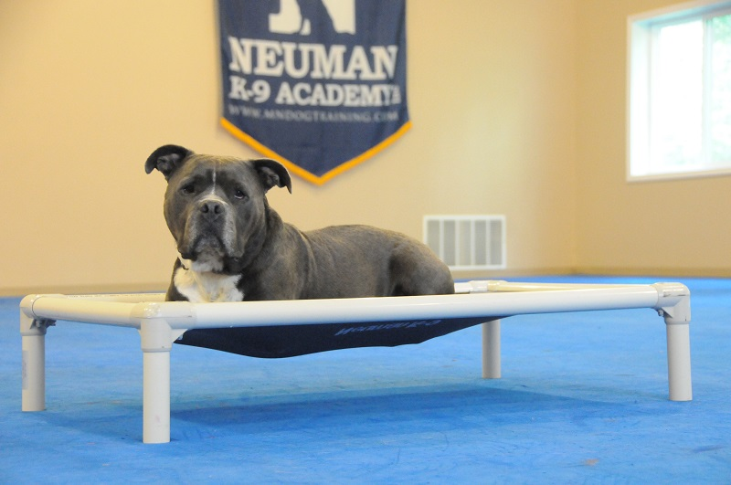 Roman (APBT) - Boot Camp Dog Training