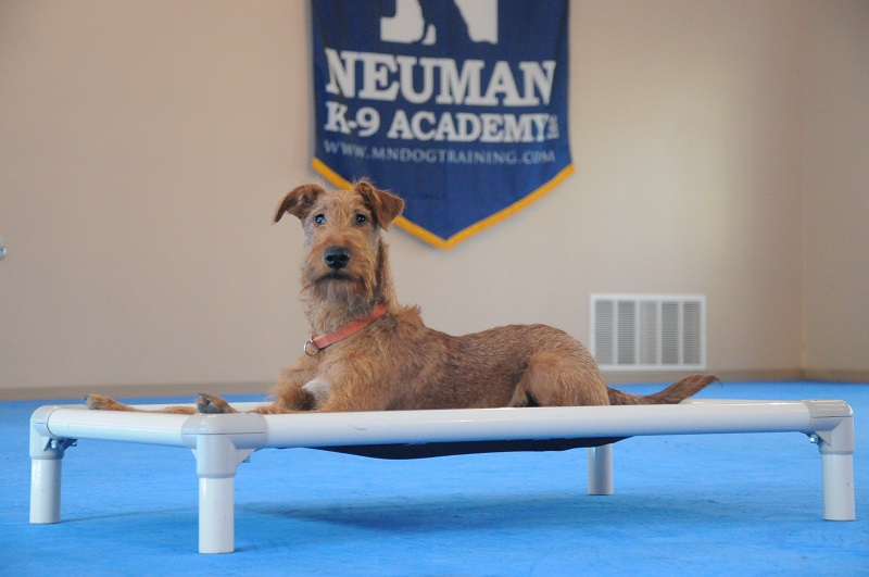 Roscoe (Irish Terrier) - Boot Camp Dog Training