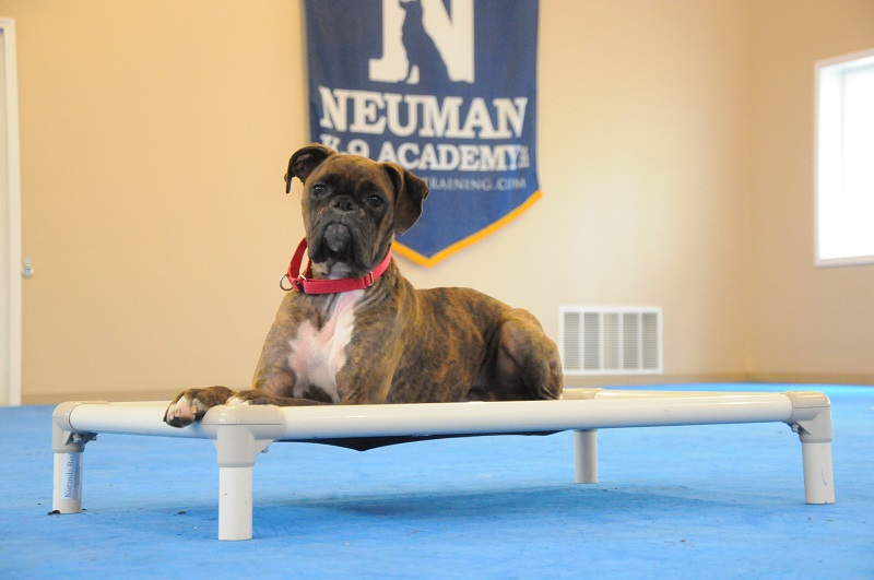 Ruby (Boxer) - Boot Camp Dog Training