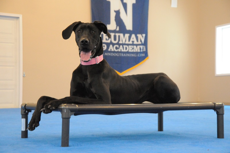 Ruby (Great Dane) - Boot Camp Dog Training