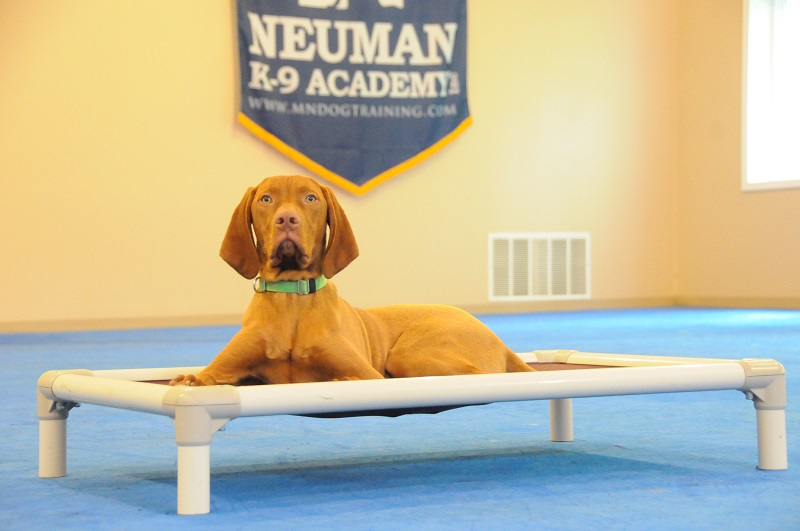 Ruger (Vizsla) - Puppy Camp Dog Training