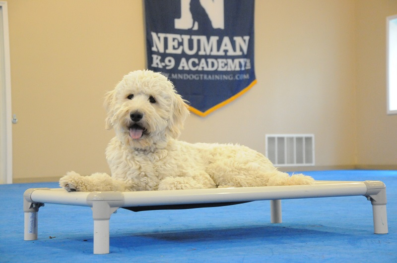 Rumble (Goldendoodle) - Boot Camp Dog Training
