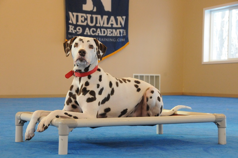 Sam (Dalmation) - Boot Camp Dog Training