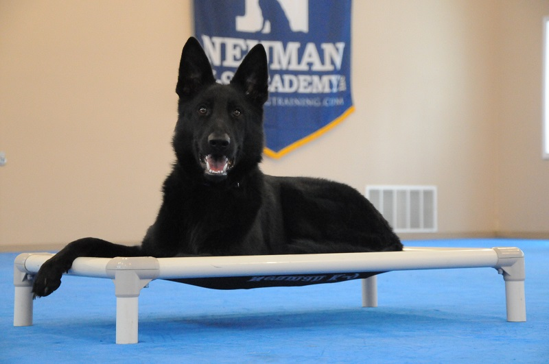 Shrek (German Shepherd) - Boot Camp Dog Training