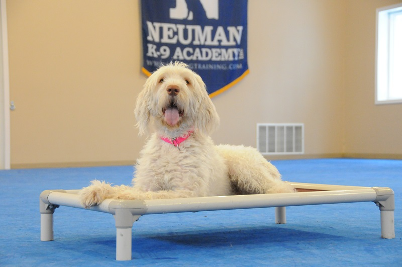 Stella (Italian Spinone) - Boot Camp Dog Training