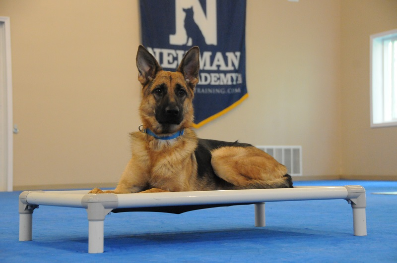 Stella (German Shepherd Dog) - Boot Camp Dog Training
