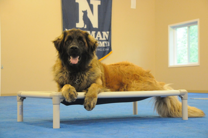 Steven (Leonberger) - Boot Camp Dog Training