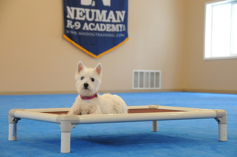 Tate (West Highland White Terrier) - Boot Camp Dog Training