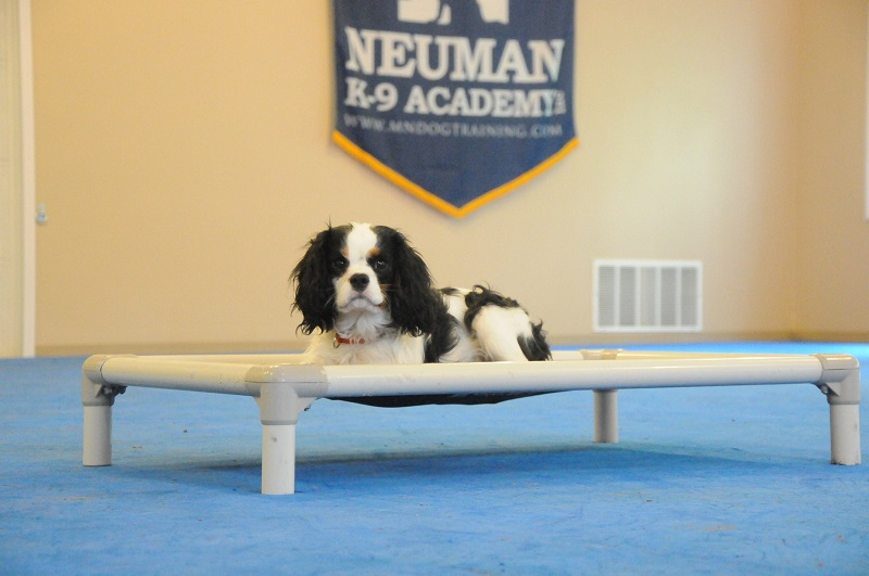 Teddy (Cavalier King Charles Spaniel) - Boot Camp Dog Training