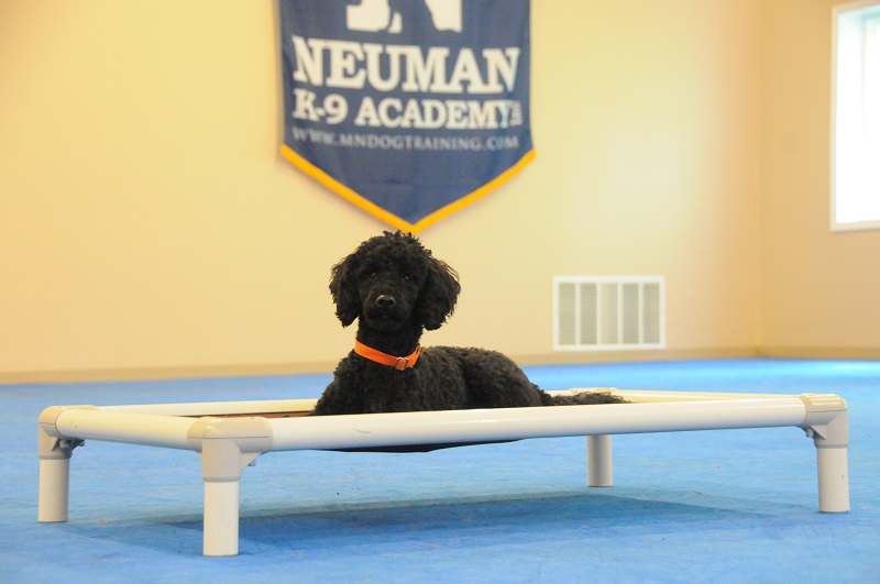 Toby (Poodle) - Boot Camp Dog Training