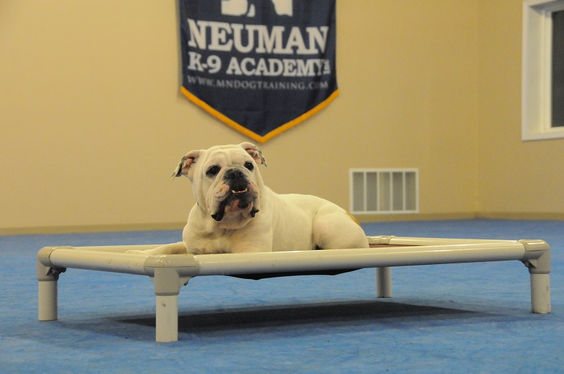 Winnie (English Bulldog) - Boot Camp Dog Training