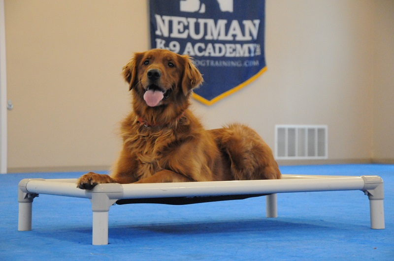 Winton (Golden Retriever) - Boot Camp Dog Training