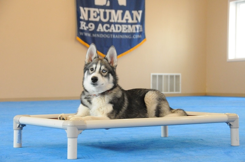 Zero (Siberian Husky) - Puppy Camp Dog Training