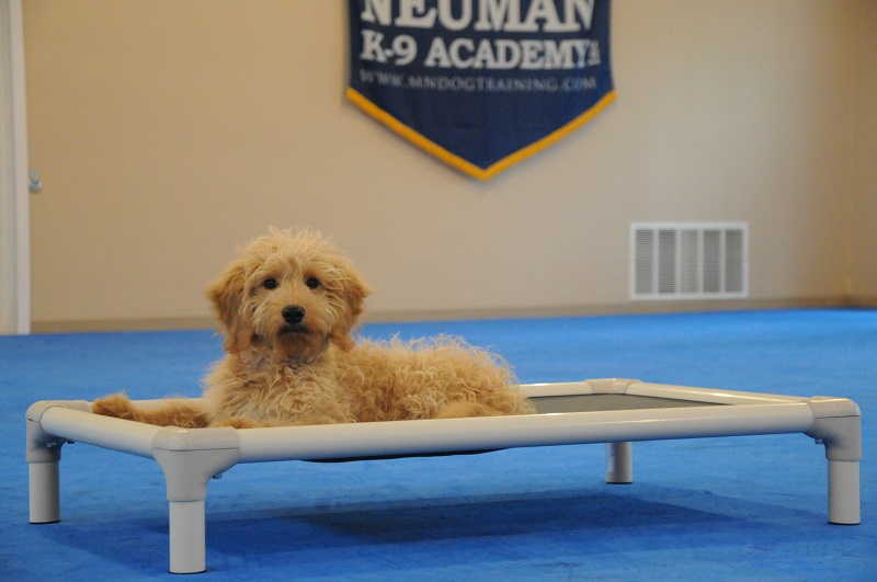 Arlo (Goldendoodle) - Puppy Camp Dog Training