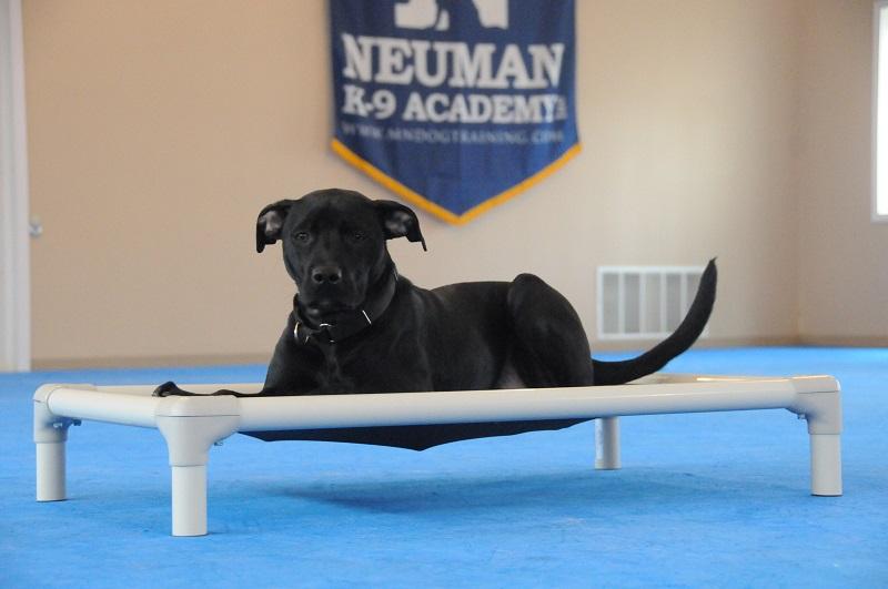 Bart (Labrador Retriever) - Boot Camp Dog Training
