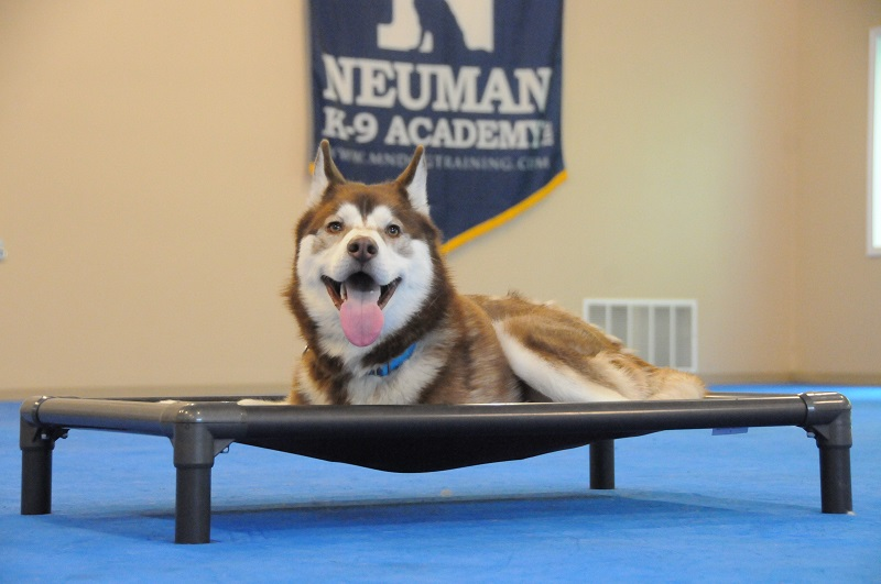 Bauer (Siberian Husky) - Boot Camp Dog Training