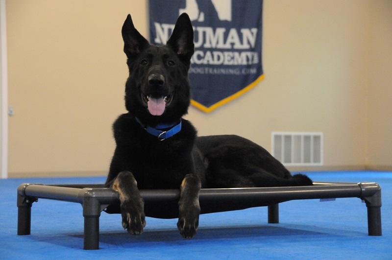 Bear (German Shepherd Dog) - Boot Camp Dog Training