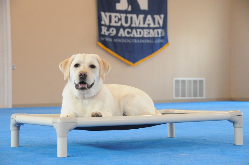 Bella (Yellow Lab) - Boot Camp Dog Training