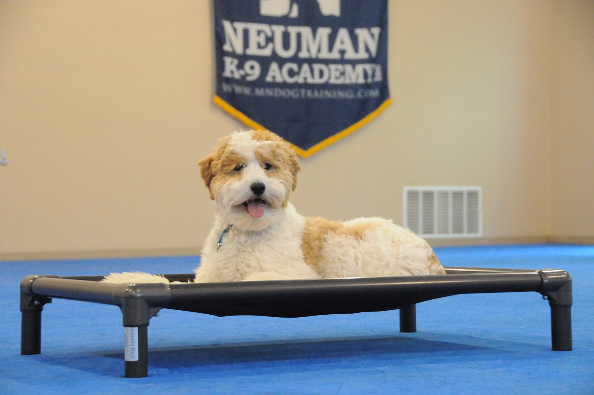 Bodhi (Mini Goldendoodle) - Boot Camp Dog Training