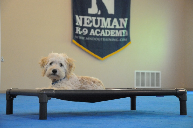 Boomer (Mini Goldendoodle) - Boot Camp Dog Training