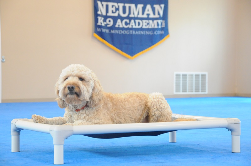 Bubba (Goldendoodle) - Boot Camp Dog Training