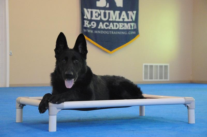 Chase (German Shepherd Dog) - Boot Camp Dog Training
