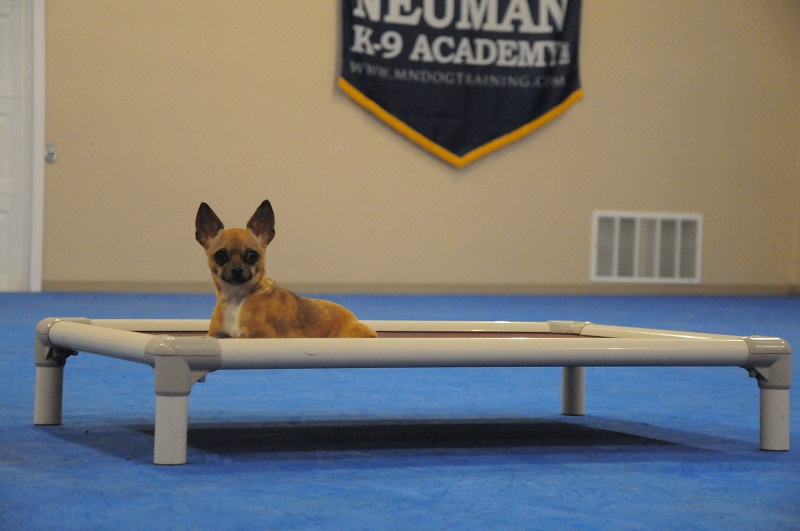 Chica-chi (Chihuahua) - Boot Camp Dog Training
