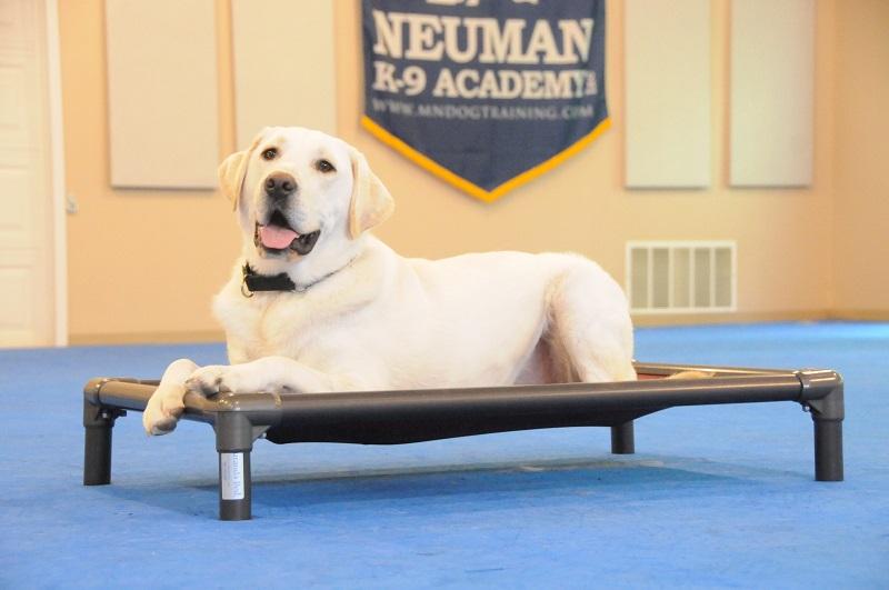 Cooper (Labrador Retriever) - Boot Camp Dog Training