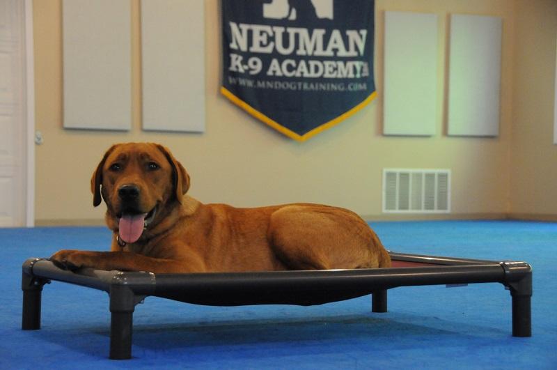 Copper (Labrador Retriever) - Boot Camp Dog Training