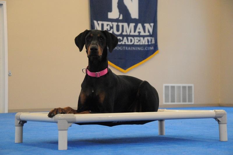 Daisy (Doberman) - Boot Camp Dog Training