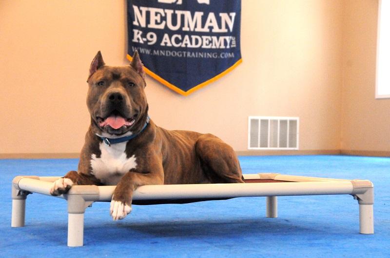 Danco (Pitbull Terrier) - Boot Camp Dog Training